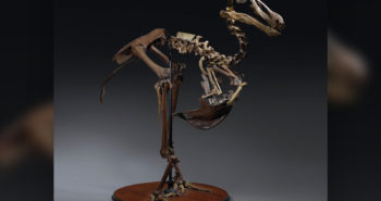 Rare Dodo Skeleton May Fetch Over $700K at Auction