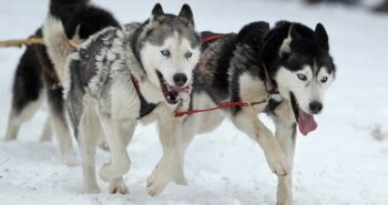 Sled Dogs Have an Unbroken Genetic Ancestry Dating Back Nearly 10,000 Years